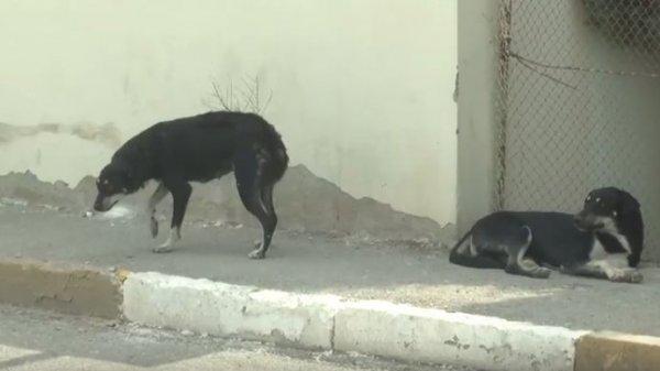 Sumqayıtda 1800 it zərərsizləşdirildi, quduzlaşanları isə yandırdılar– VİDEO